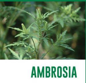Sfalcio Ambrosia
